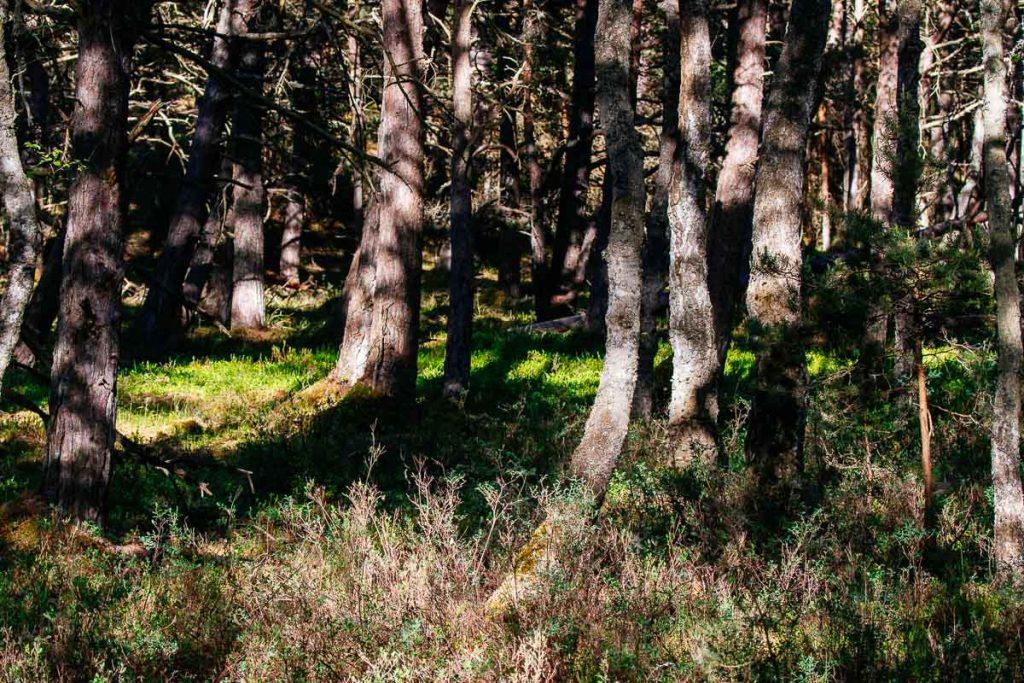 pine trees Słowinski National Park