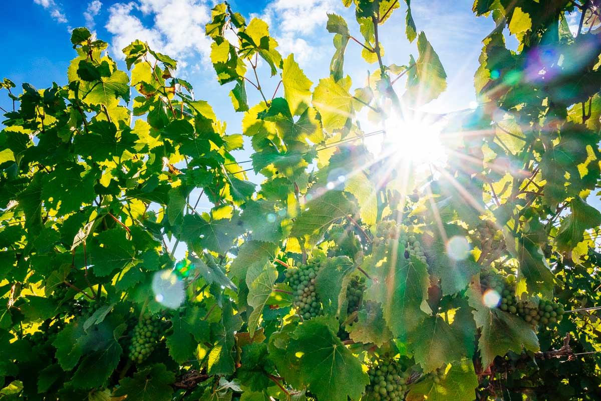 sunshine-chardonnay-grapes-champagne-region-france
