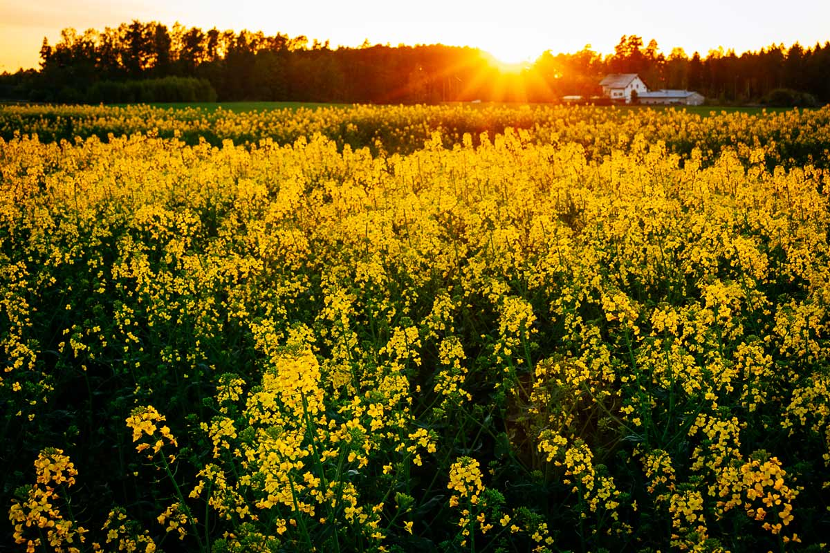 rapeseed-farm-sunset