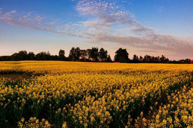 rapeseed-sky-clouds-poland